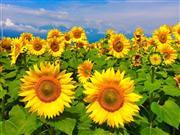 ★夏の花!ひまわり
