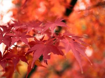 【福井県発着】紅葉の富士見台高原ロープウェイと信州りんご狩り食べ放題<添乗員同行>