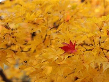 【阪神地区発着】ぐるっとびわ湖 紅葉満喫ものがたり―紅葉の絨毯・鶏足寺&幻想の世界・もみじ池&メタセコイア並木道―<添乗員同行>