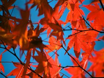 【神戸市・明石市から発着】晩秋の丹波とっておき絶景紅葉スペシャル<添乗員同行>