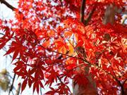紅葉※イメージ