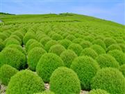 ◆ふわふわの丸くて愛らしい緑葉のコキア!
