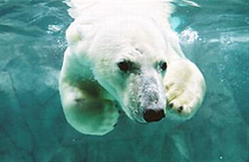 ≪札幌発≫人気の旭山動物園3時間滞在と美瑛青い池を散策