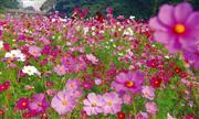 くりはま花の国(9月頃/コスモス) ※イメージ