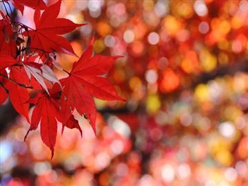 【京都・大津発着】一度は訪れたい紅葉名所鶏足寺・徳源院清瀧寺と近江牛鉄板焼き<添乗員同行>