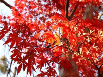 【草津・大津・大津京発着】紅葉の天空の竹田城と丹波2大紅葉<添乗員同行>