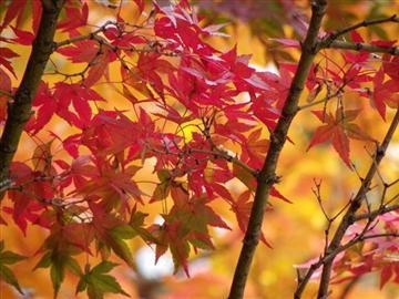 【彦根発着】紅に染まる香嵐渓と東海最大級の日本庭園・白鳥八景<添乗員同行>