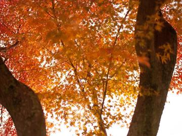 【出雲~米子エリア発着】秘境!紅葉の祖谷渓谷と大歩危峡遊覧日帰り<添乗員同行>