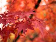 紅葉 ※イメージ