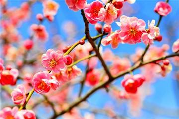 【福岡地区発着】河津桜・椿・梅・早春の花めぐりと「のどぐろ丼・カニ膳」の昼食 日帰り<添乗員同行>