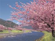 河津桜※イメージ 画像提供:静岡県観光協会