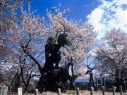 神代桜 画像提供:やまなし観光推進機構 ※イメージ