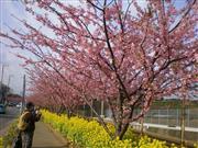 三浦海岸河津桜※イメージ 画像提供:三浦市観光協会