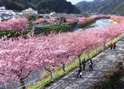 河津桜まつりイメージ