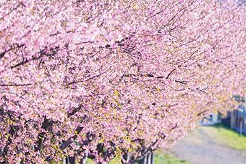 【町田発】花・花・花の3大駿河路花回廊旅フルコース~この時期見ごろを迎える駿河の3つの花の競演!日帰り3食付き!