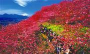 まつだの桜(3月頃)※開花時のみ立寄り ※イメージ