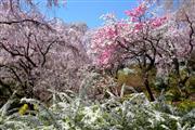 原谷苑の桜(イメージ)