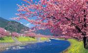 河津桜(画像提供:静岡県観光協会)※イメージ