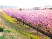 ◆伊豆の新名所「かんなみの桜まつり」