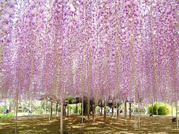 【静岡県中部・東部地区発着】天然記念物!あしかがフラワーパークの藤と館林つつじが岡公園<添乗員同行>