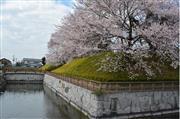 壬生城址公園の桜  ※イメージ