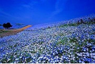 価格に注目!【新宿発】花・花・花・花・花ゴールデンウイーク常陸路!!見渡す限り青の絨毯!「450万本のネモフィラの丘」と藤・ツツジ・チューリップ・菜の花 常陸の5大花めぐり