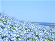 ひたち海浜公園 ネモフィライメージ