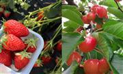 季節のフルーツ狩り ※時期によりいずれか1種 ※イメージ