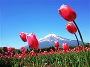 花の都公園 チューリップイメージ