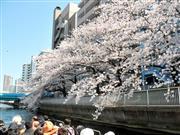 桜が目の前に!お花見クルーズ