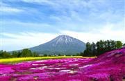 三島さんちの芝桜と羊蹄山 ※イメージ