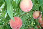 高級果実白桃狩り食べ放題 ※イメージ