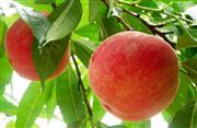 甘くて美味しい桃狩り体験