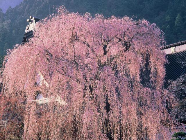身延山久遠寺とシダレザクラ 画像提供:やまなし観光推進機構