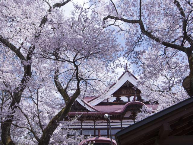 高遠コヒガン桜 画像提供:伊那市観光協会