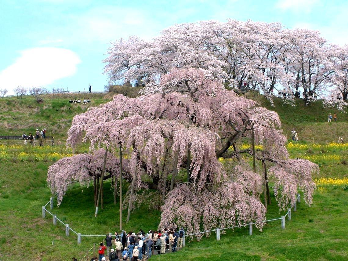 三春の滝桜 ※イメージ