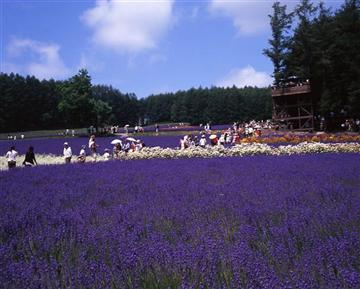 【札幌発】富良野美瑛をぐるっと!ラベンダー畑と青い池、四季彩の丘に富良野ドラマ館を楽しむ旅