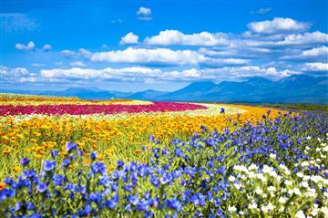 【札幌発】富良野お花畑散策と美瑛・神秘的な青い池を訪ねる旅