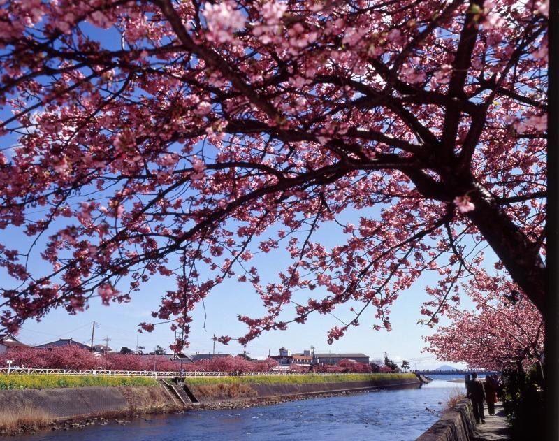 河津桜(イメージ)