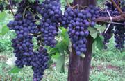 鶴沼ワイナリーのブドウ