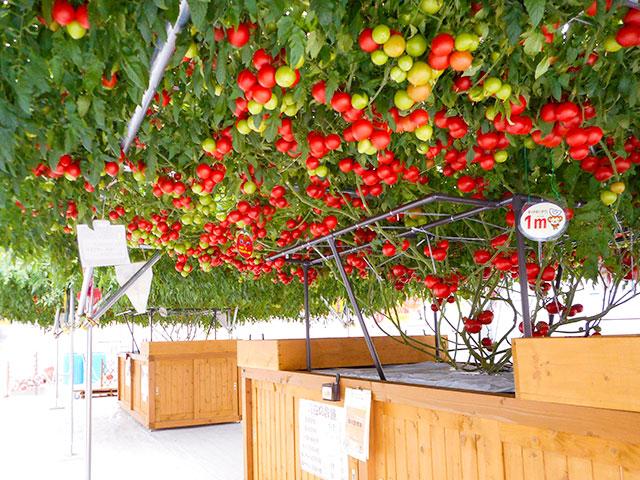 トマトツリー ※イメージ
