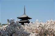 仁和寺 御室桜 ※イメージ