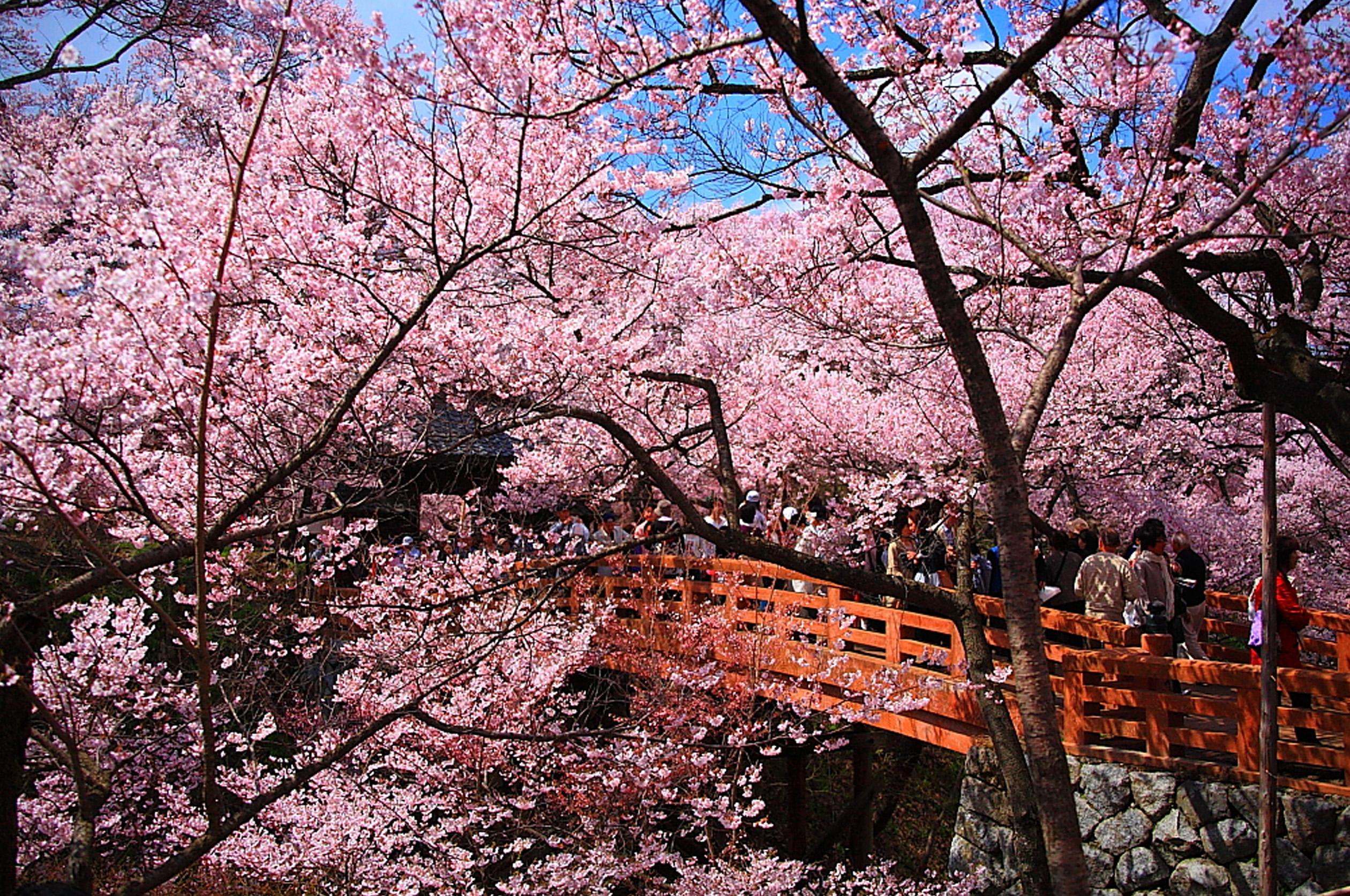高遠コヒガン桜 ※イメージ