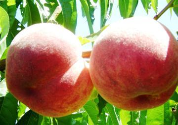 ★季節のフルーツ狩り体験!7・8月は桃狩り!9月はりんご狩り♪