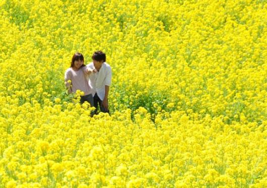 関東最大級350万本の【菜の花畑】