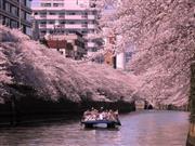 目黒川お花見クルーズイメージ